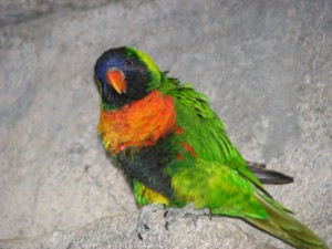 royal, king, Australian, parrot