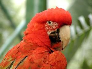 Папуга птах, червоний,