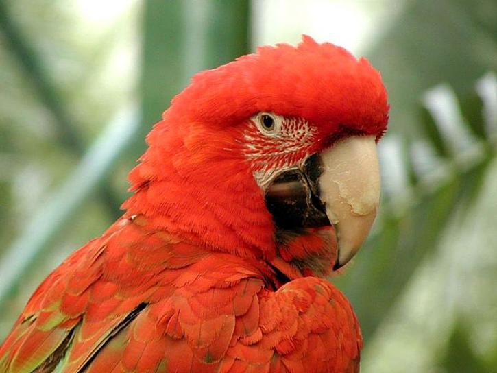 vogel, rood, parrot