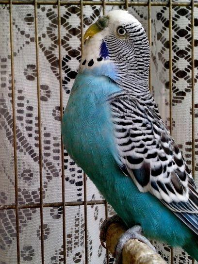 blue, domestic, parrot, cage