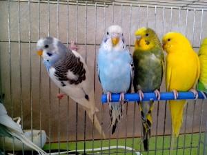 blue, yellow, green, parrots