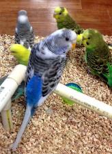 andulka papagáje, melopsittacus vlní, spoločné andulka