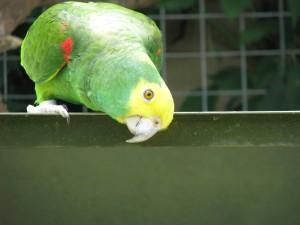 effronté, perroquets, oiseaux