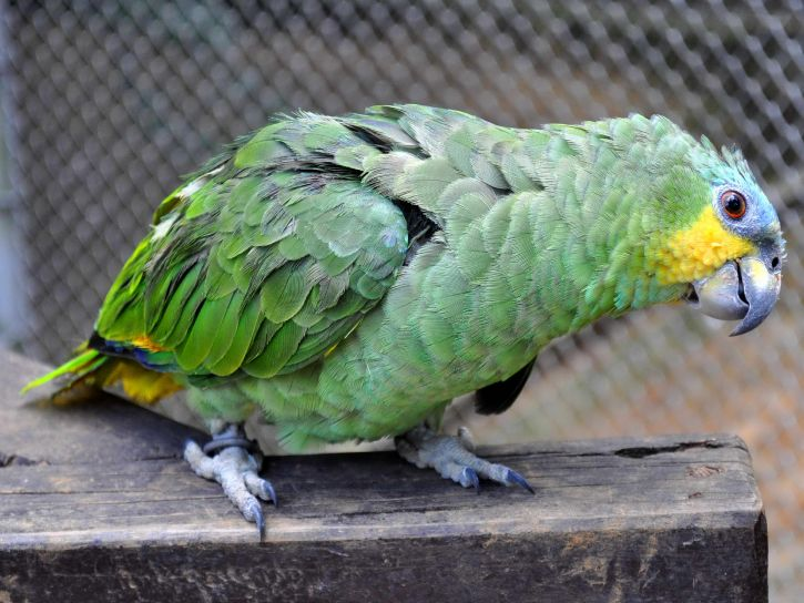 cute, big, green, parrot
