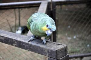Zelena papiga, ptice, zoološki vrt