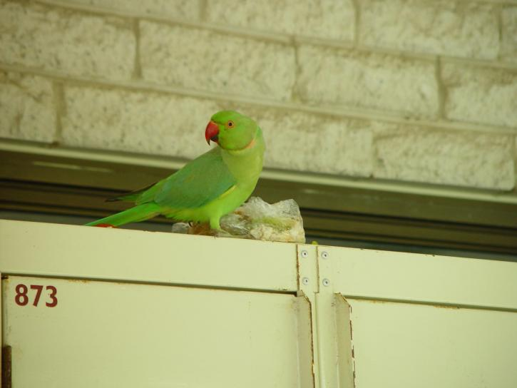 zelená, papagáj, partitúry, obed