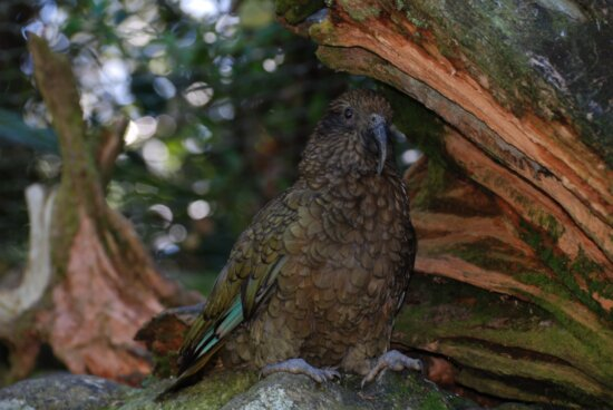 mountain, parrot