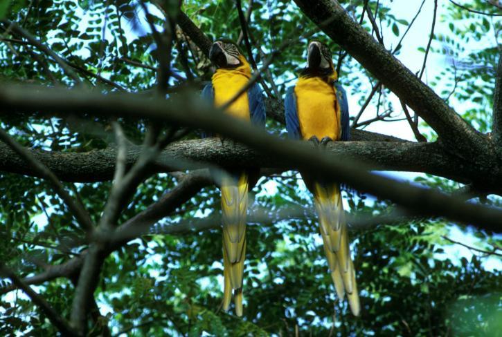 bleu, jaune, aras, perroquets