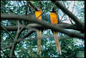 aras, oiseaux, ara, macao