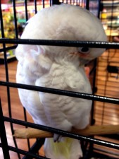 Moluques, cacatoès, oiseau, perroquet, vendu, animal de compagnie
