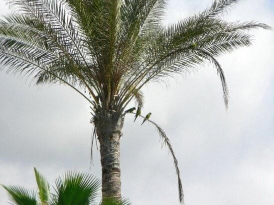 parrots, birds, tropical palm tree