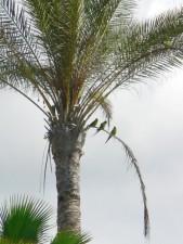 parrots, palm tree