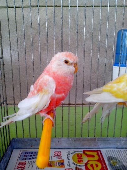 rose, perroquet, oiseau