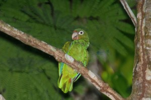 puerto, Rican, perroquet, amazona, vittata