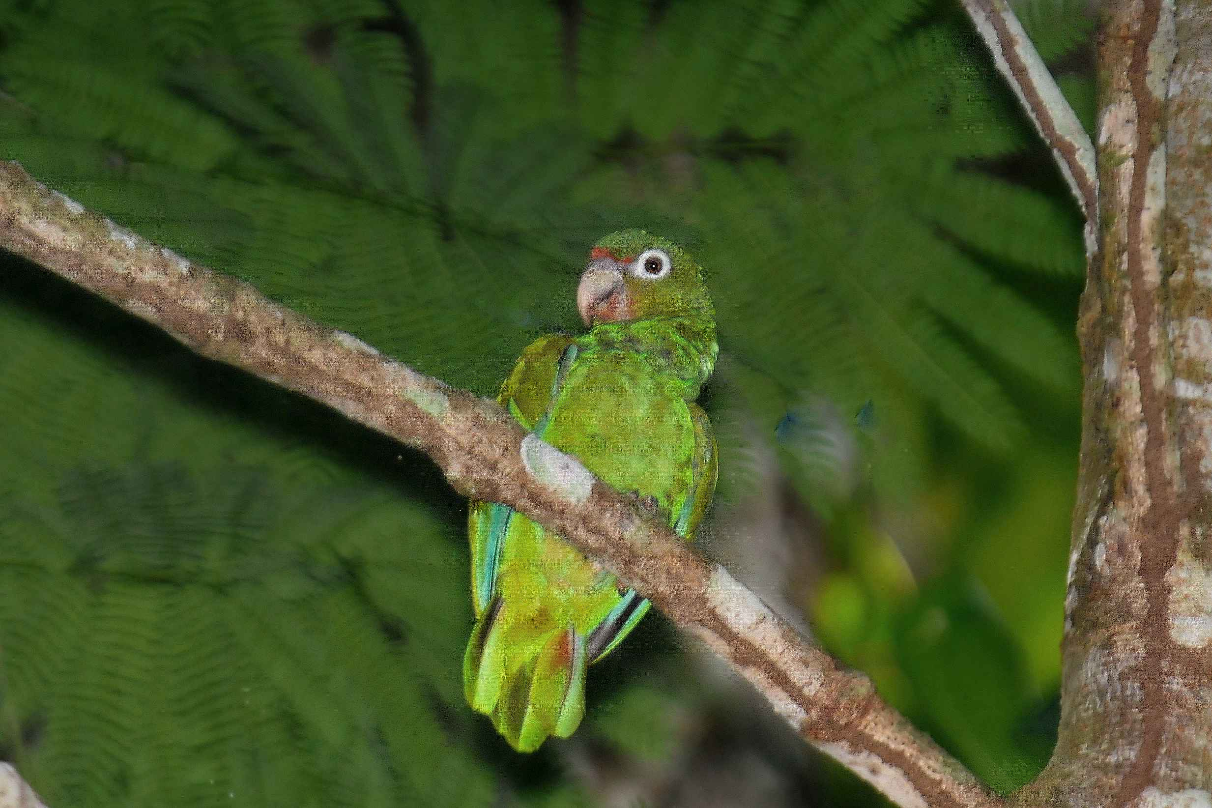 the endangerment of the puerto rican parrot and the need for its conservation Endangered species news read about threatened species and comebacks from antelopes to zebras, get the latest updates on endangered animals.