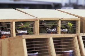 quaker, parakeet, parrots, shipment