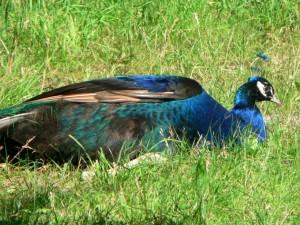 blue, male, peacock