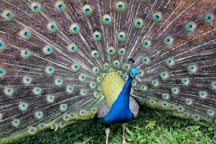 blue, peacock, spread, tail