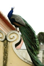 paon, oiseau