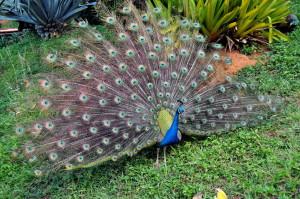 paon, oiseau, somptueuse, plume