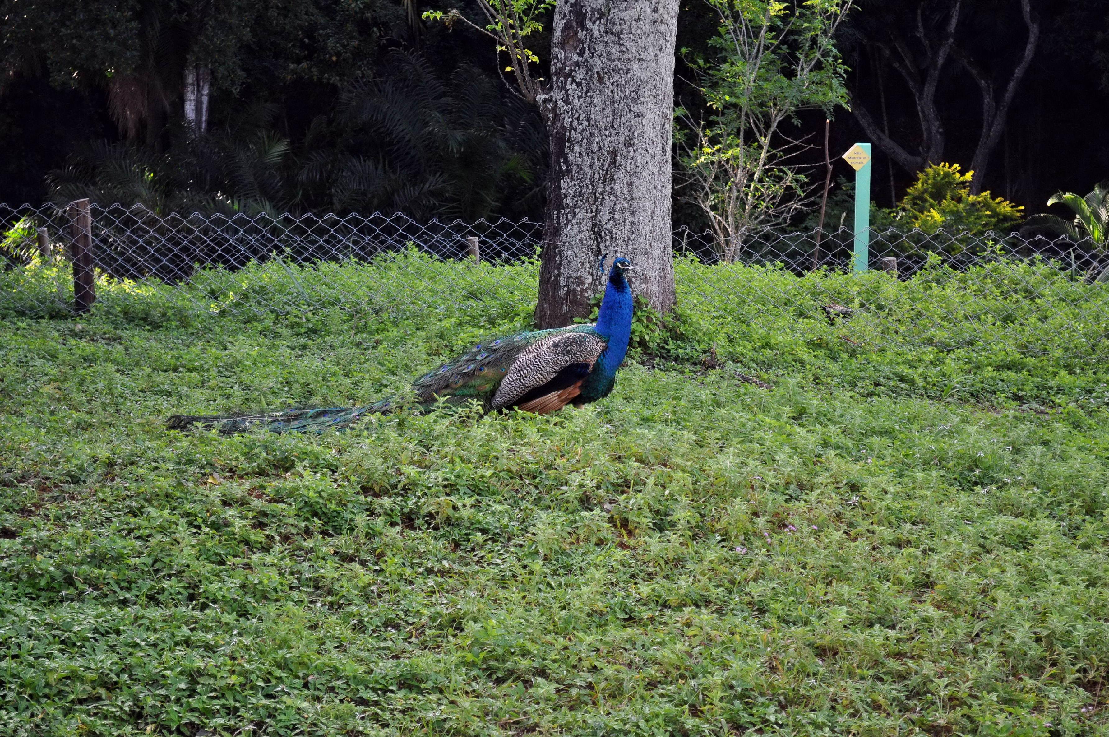 Free photograph; peacock, cock, park