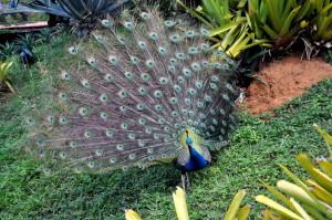 Peacock, mann, fugl, park