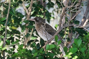 nacrée, observé, thrasher, oiseau, arbre
