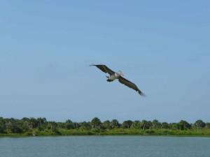 коричневий, Пелікан, політ