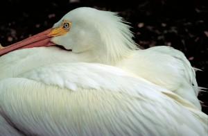 Пеликан птици