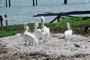 American, white pelicans