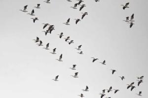 Lecące pelikany amerykański, biały