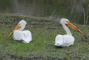 American, white pelicans, grass, birds