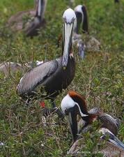 banded, brown, pelican