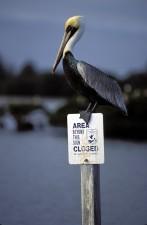 brown, pelican, bird, refuge, sign