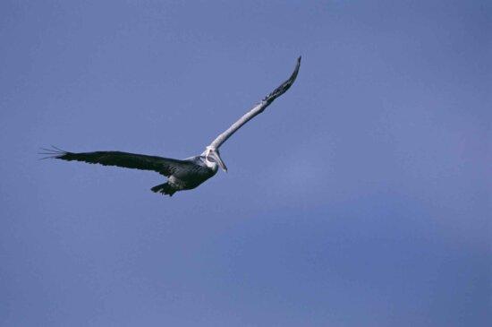 brown pelican, bird, sky, flies