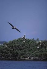 brown, pelican, flies, pelican, island