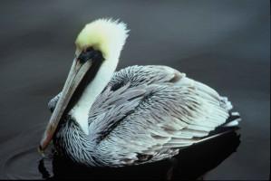 brown, pelican, water