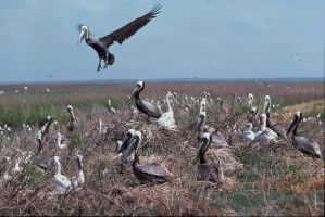 brown, pelican, nesting, colony