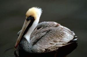 Brown, pelican, pelecanus occidentalis