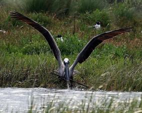 brown, pelican, snares, stick, nest, building