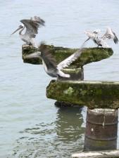 braun, Pelikane, Vögel