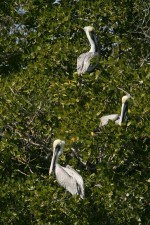 brown, pelicans, mangrove, tree