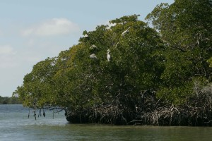 pelikany, drzewa, pelecanus occidentalis, Brown, carolinensis