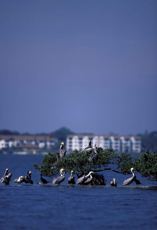 brown, pelicans, perch, barely, water, line