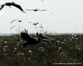 brown, pelicans, returning, nest