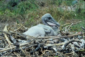 up-close, brown, pelican, chick, nest