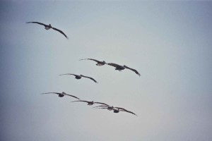eight, brown, pelicans, flight