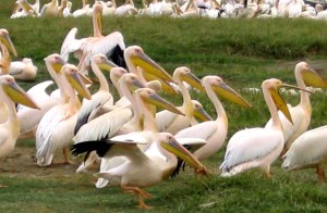 flock, great, white pelicans, pelecanus, onocrotalus, ground, Kenya, Africa
