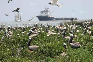 flock, pelicans, birds, groun, air