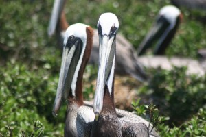 frontal, two, brown, pelicans, birds, up-close, shot
